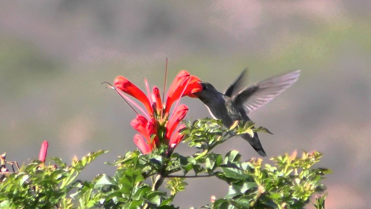 Slow Motion Hummingbird Test Fps YouTube - Syncing a videos frame rate with a birds wings does something amazing