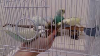 Волнистые ручные попугаи редких окрасов