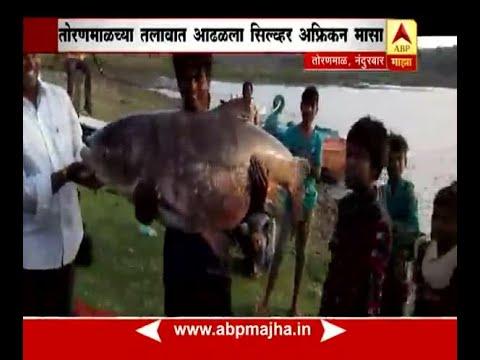 Toranmal, Nandurbar : Huge fish