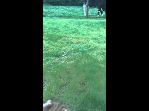 koeien kijken doe je op veilige afstand!