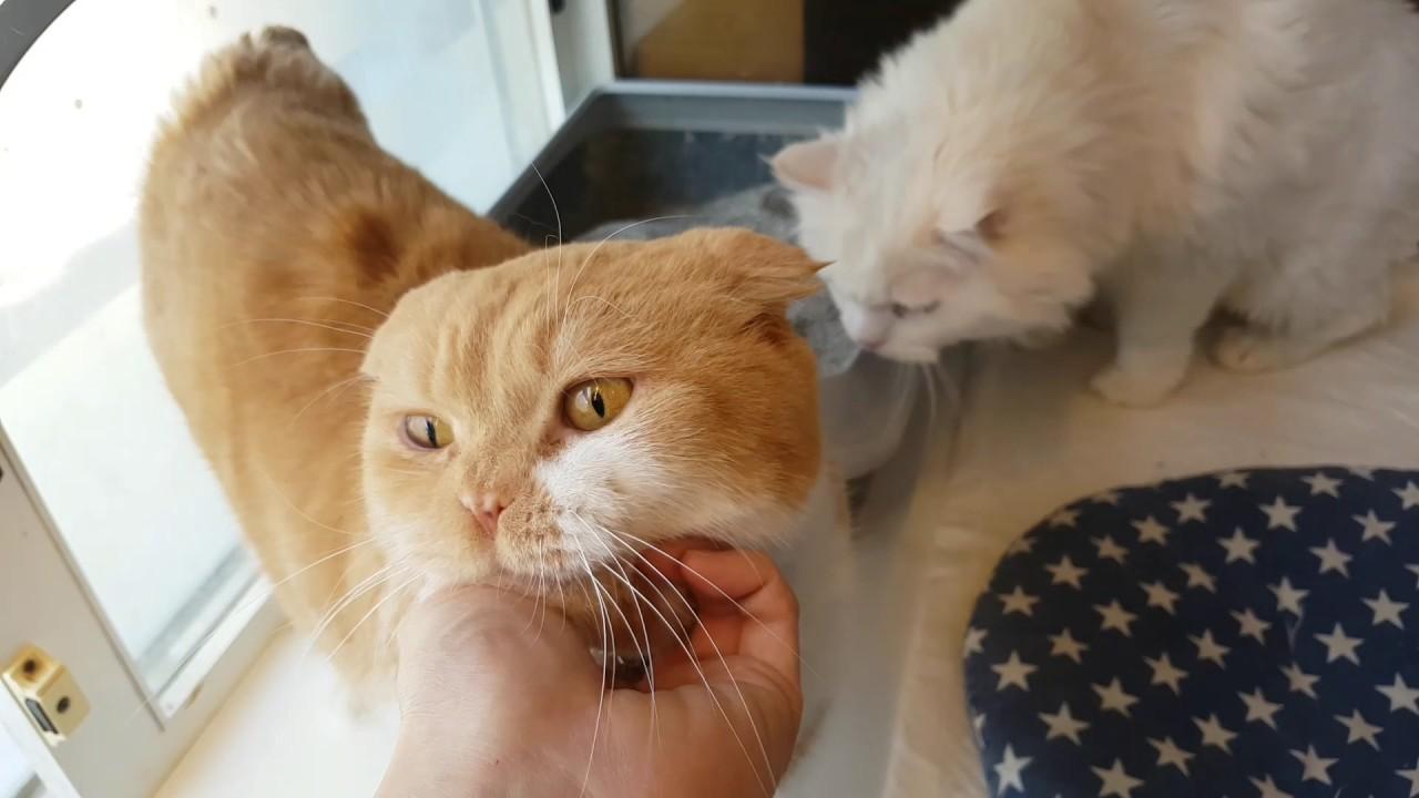 Persian Cat Toro And Turkish Angora Cat Negi Youtube