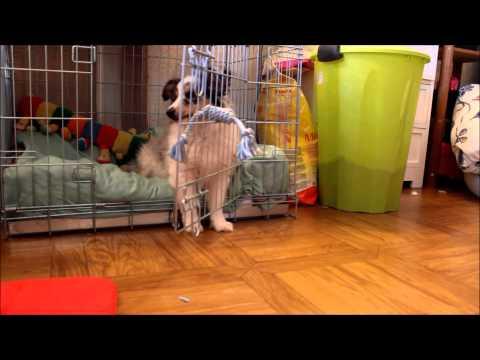 Jaïko berger des Shetland tricks - YouTube