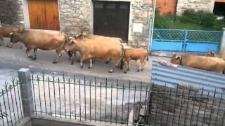 transhumance des vaches en ariège (09)