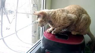 Оливка разговаривает с птичками. Редкая порода девон-рекс \ which kotosemya funny cats