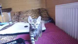 котята-девочки породы тойгер Звезда, Заря, возраст 1,5 мес