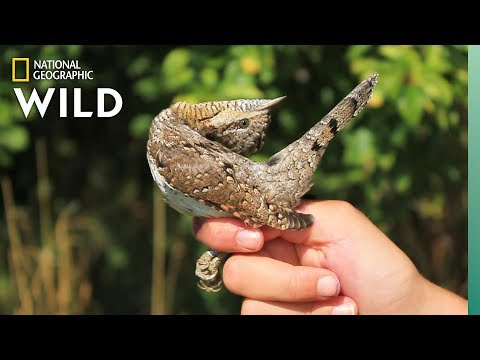 This Woodpecker Mimics a Snake When Threatened | Nat Geo Wild