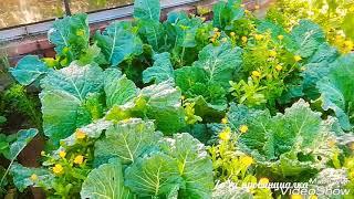 Урожай капусты/Белокочанная и брокколи/Расцвели подсолнухи/Московская обл. #капуста #урожай #огород