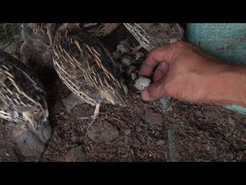 Nuôi chim cút thả vườn khép kín bán giống bán trứng bán thịt hiệu quả cao