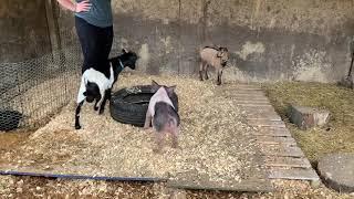 Pig meeting goats