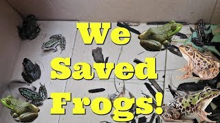 We Saved A Bunch Of Frogs From Certain Death!