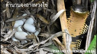 พิสูจน์ความเชื่องูจงอางหวงไข่ 2 (ลูกงูจงอางออกจากไข่)