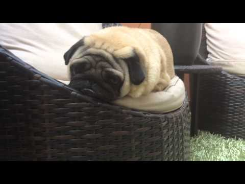 god is dead pug pug punishment funnydog tv 6494