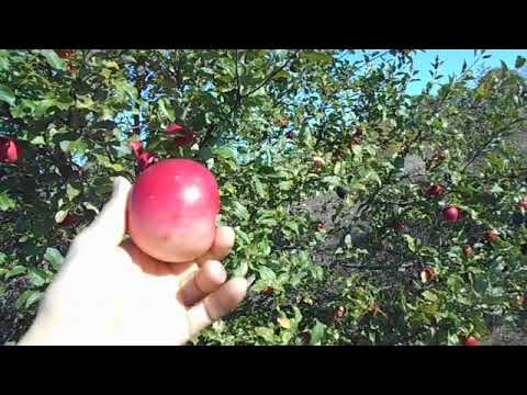 яблоня деличия урожай