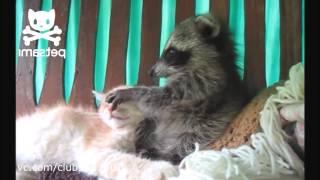 Забавный енот достает кота Приколы с животными Забавные видео