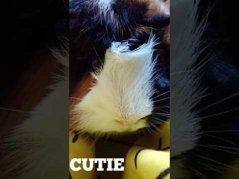 Cute guinea pig photos! Guinea Pigs Are Cute