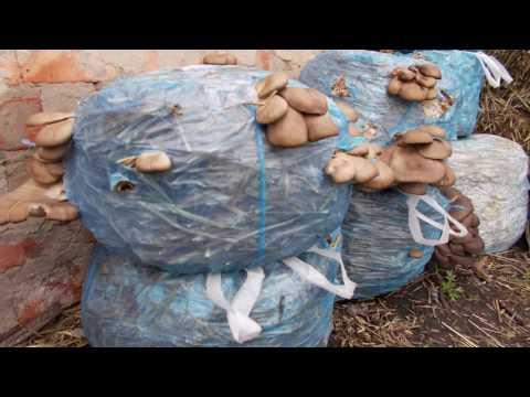 выращивание грибов в маленьких пакетах.видео