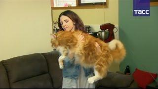 Рекордно длинный кот может попасть в Книгу Гиннесса