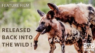 Released Back Into The Wild! | Lapalala Painted Dogs | Feature Film | Painteddog.tv