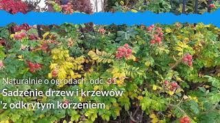 NoO 31: Sadzenie drzew i krzewów z odkrytym korzeniem