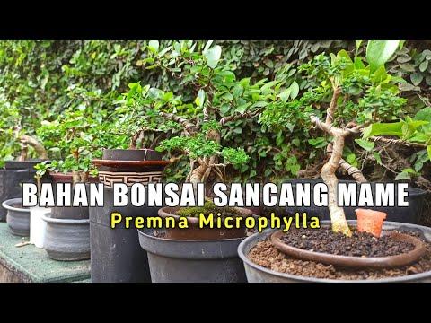 Melihat Beberapa Bahan Bonsai Sancang Mame (Premna Microphylla)