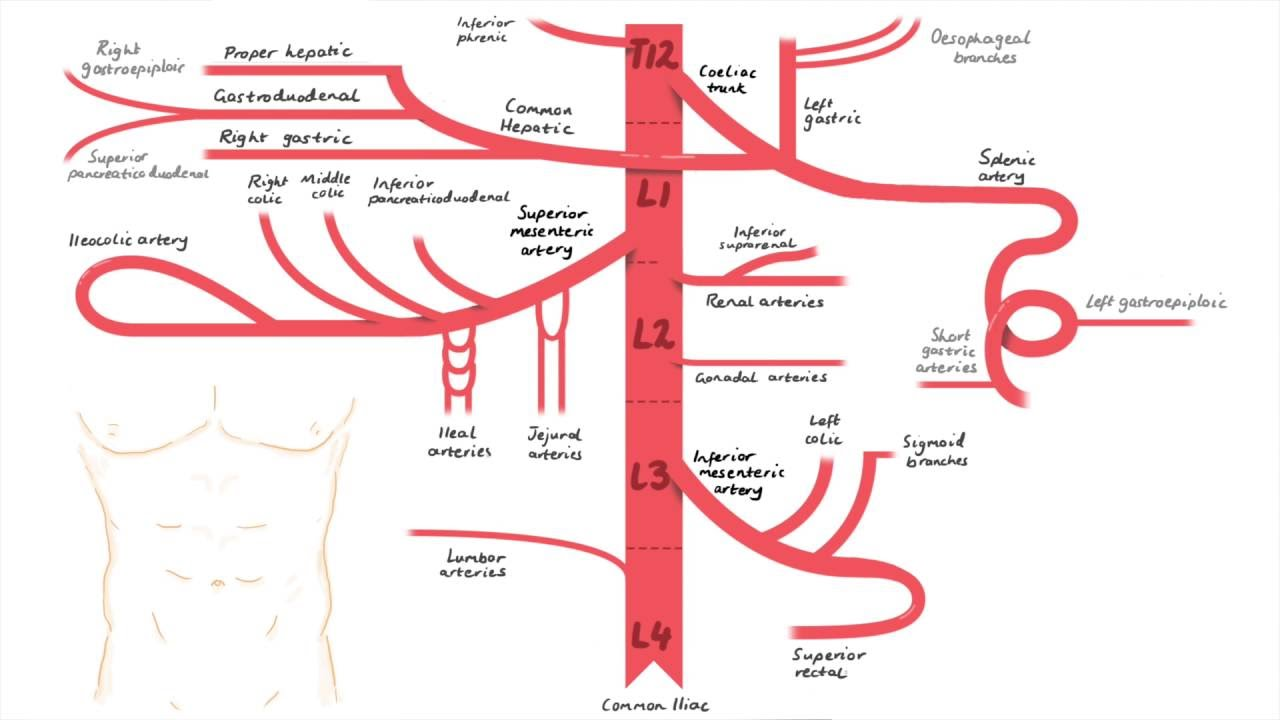 Abdominal aorta and its branches - YouTube