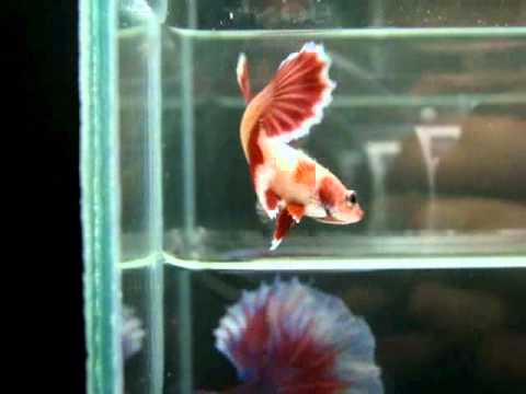 { Sold out } Betta Splendens : (0810-116) Pinky Butterfly HM STF.mp4