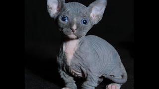 топ 10 самых мелких пород кошек