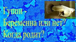Гуппи - Беременна или нет? Когда родит?