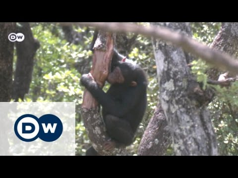 A save haven for orphan chimps | Eco-at-Africa