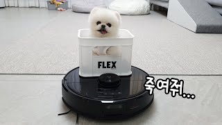 A Dog Begging to Ride on the Robot Vacuum Cleaner