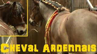 Cheval Ardennais - Equus caballus - Linnaeus, 1758 - Salon de l'Agriculture 2015 - 03/2015