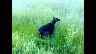 Don Vs Dona (doberman Pinscher) Sjenica