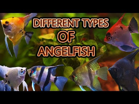 The Different Types Of Angelfish