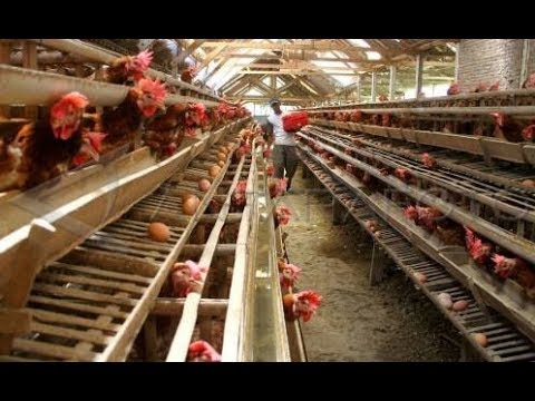 Cara Beternak Ayam Petelur - YouTube