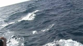 スペイン テネリフェ島のイルカウォッチング thumbnail