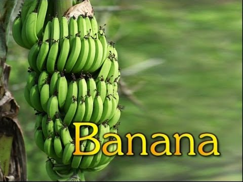 Commercial Cultivation of Banana