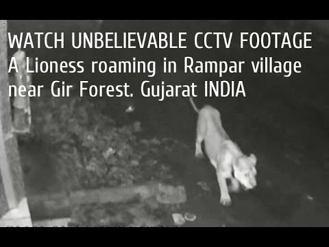 WATCH UNBELIEVABLE CCTV FOOTAGE A Lioness roaming in Rampar village near Gir Forest