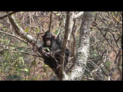 Issa chimpanzees (Tanzania 184, credit T Deschner, MPI-EVA)