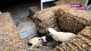 Μπλόκο αγροτών στη ΔΟΥ Κιλκίς με... προβατάκια-Eidisis.gr webTV