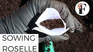 Sowing Roselle Hibiscus in Unheated Greenhouse - Cut Flower Garden Seed Starting for Beginners