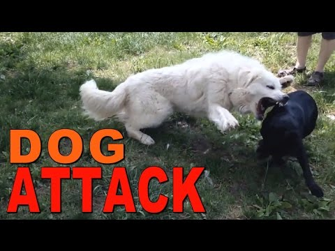 Great Pyrenees VS. Pit Bull Mix