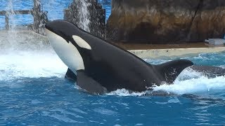 NEW Orca Encounter show highlights at SeaWorld San Diego