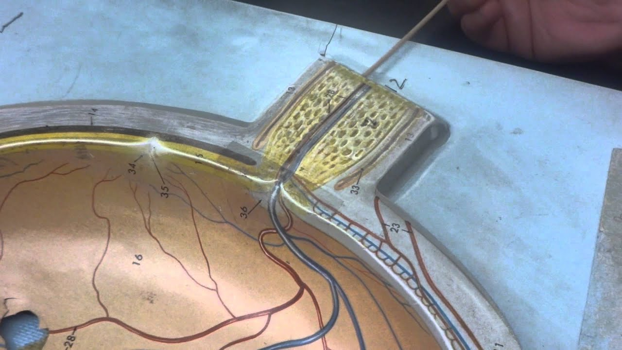 Human Anatomy model of the eye - YouTube