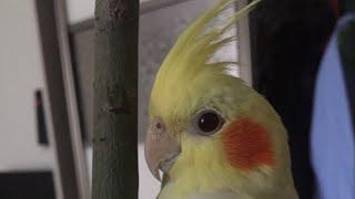 Конъюктивит у птиц