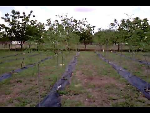 Moringa Oleifera Huerta despues de cosecha de semilla