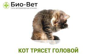 Кот трясет головой. Ветеринарная клиника Био-Вет.