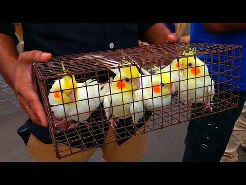 Galiff Street Bird Market Kolkata India | Cheapest Pet Lovebirds,Parrots, Pigeon, Hen, Birds Shop