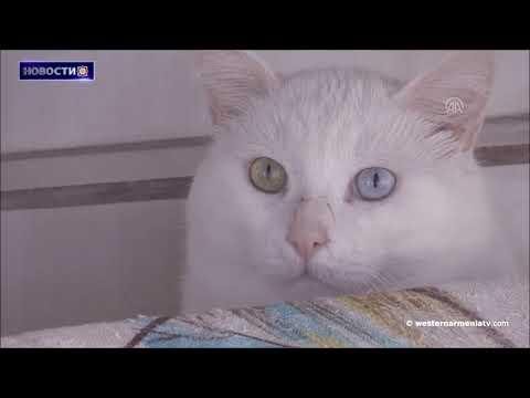 Один из символов Западной Армении ванские кошки.Новости 23.01.2021