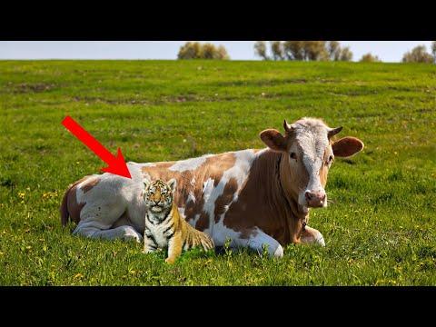 Люди АХНУЛИ, когда увидели КОГО кормит корова своим молоком!