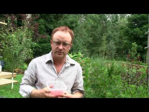 how to grow currants from seed